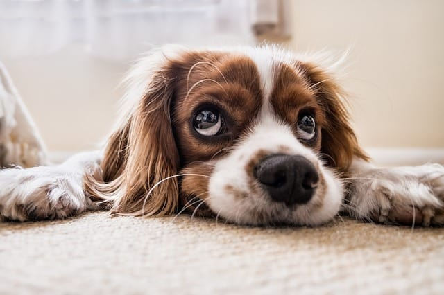 How to Get Rid of Dog Odor in Carpet: 13 Tips that Work!
