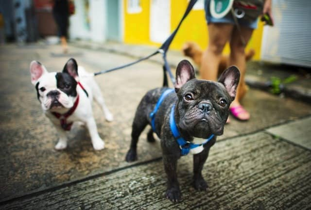 Middle Class Dad health benefits of walking your dog 2 French bulldogs for a walk on a city street