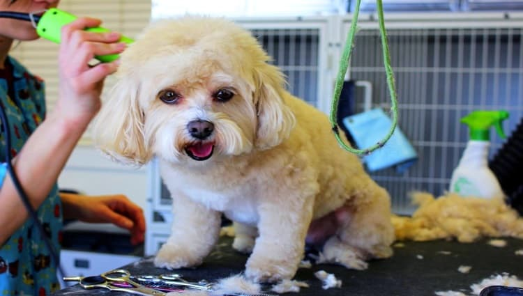 how to get rid of pet hair Middle Class Dad cute little dog getting groomed at a grooming shop
